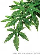 Rostlina textilní Abuliton